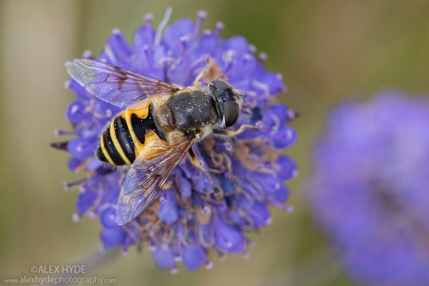 Hoverfly {Eristalis horticola} feeding on Devil's-bit Scaboius {Succisa pratensis}. Strumpshaw Fen, Norfolk, UK. September.