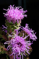Rough Blazing Star (Liatris aspera). Native to eastern North America, found in dry open places, woodland borders, and prairie habitats.