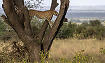Kenya, Chyulu Hills National Park, cheetah (Acinonyx jubatus)