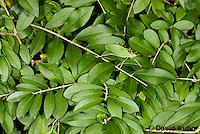 0815-0902  Camouflaged Common True Katydid (Northern True Katydid), Pterophylla camellifolia © David Kuhn/Dwight Kuhn Photography