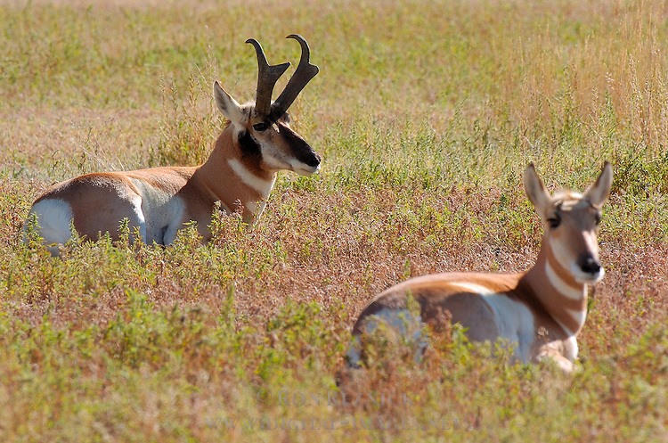 Pronghorn Male and Female, North Entrance, Yellowstone National Park, Gardiner, Montana