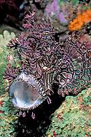 Merlet's scorpionfish, Rhinopias aphanes, Coral Sea Marine Park, Australia, Coral Sea, Pacific Ocean