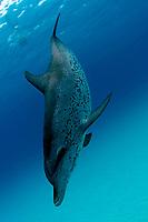 Atlantic spotted dolphins, Stenella frontalis, Little Bahama Bank, Bahamas, Caribbean Sea, Atlantic Ocean