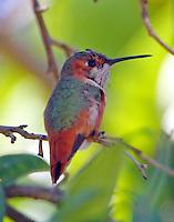 Immature male Allen's hummingbird