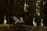 Brown Pelican (Pelecanus occidentalis) stretching, Elkhorn Slough, Monterey Bay, California