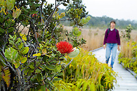A woman walks on a boardwalk at Volcanoes National park with an brilliant red ohia lehua blossom (species: metrosideros polymorpha) in the foreground. This flower is sacred in Native Hawaiian culture and is associated with the volcano goddess Pele.