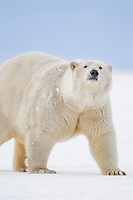 Portrait of an adult female polar bear in the snow on a barrier island in Alaska's Beaufort Sea, Arctic National Wildlife Refuge.