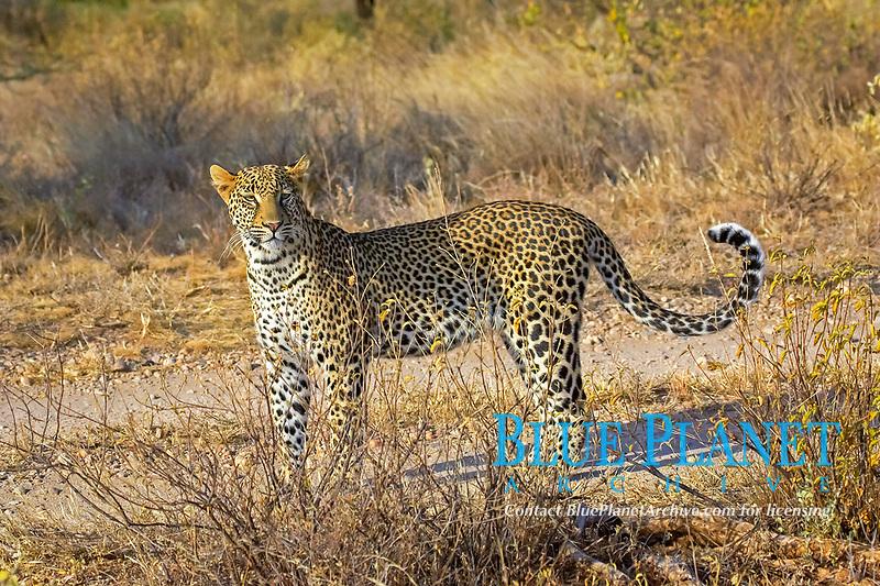 leopard, Panthera pardus, adult, Maasai Mara National Reserve, Kenya