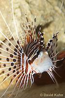 0130-1014  Antennata Lionfish (Broad-Banded Firefish, Spotfin Lionfish), Pterois antennata  © David Kuhn/Dwight Kuhn Photography