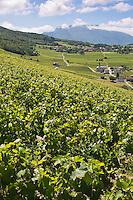 Europe/France/Rhône-Alpes/73/Savoie/Jongieux:   Le Vignoble de Jongieux vu depuisla terrasse du  Restaurant: Les Morainières