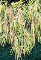 Hakonechloa macra Aureola Golden Hakon ornamental grass