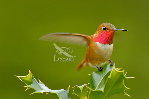 Male Rufous Hummingbird (Selasphorus rufus) sitting atop holly bush.  Pacific Northwest.
