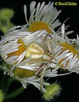 0903-06pp  Crab spider - Thomisidae Genus - © David Kuhn/Dwight Kuhn Photography