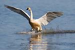Tundra Swan (Cygnus columbianus) landing on water, Tule Lake National Wildlife Refuge, California