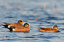 00318-006.17 American Wigeon Duck (DIGITAL) flock of four on the water of marsh typical of species.  Hunt, baldpate, waterfowl.  H3R1