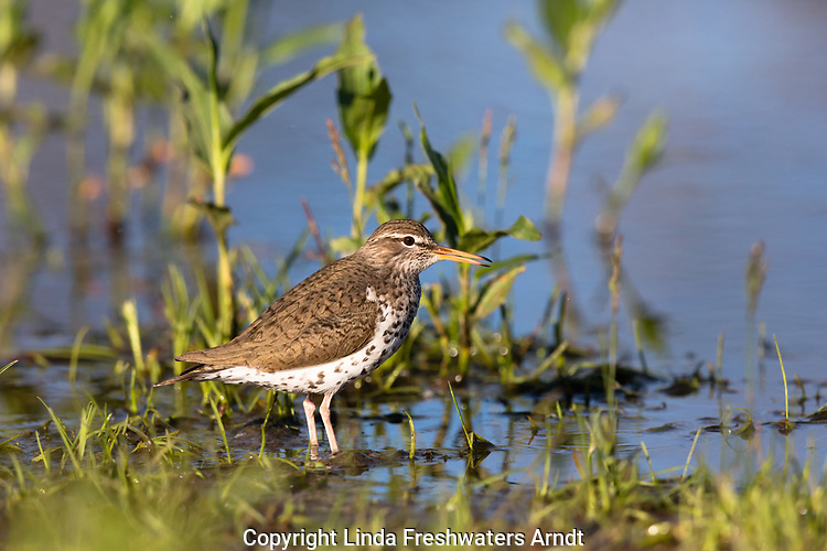 Spotted sandpiper in northern Wisconsin