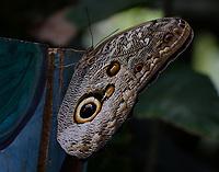 Caligo illioneus oberon