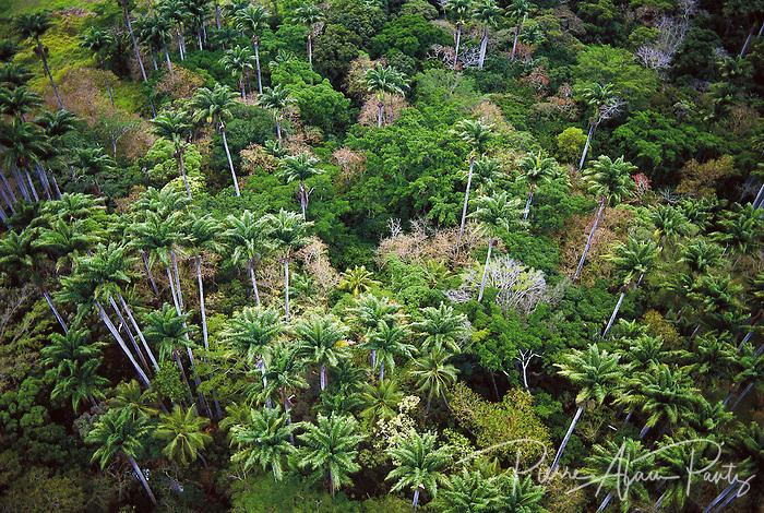 Plantation de palmiers royaux à moindou