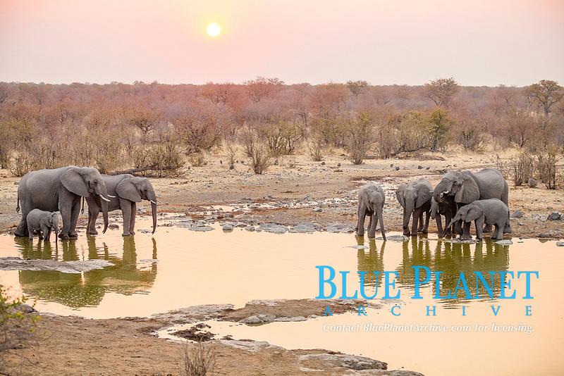 African elephants (Loxodonta africana) drinking at a waterhole at sunset, Etosha National Park, Namibia, Africa