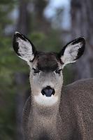 Mule deer does in winter poses.