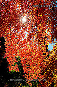 Tom Mackie, LANDSCAPES, LANDSCHAFTEN, PAISAJES, photos,+Asia, Japan, Japanese, Tom Mackie, Worldwide, autumn, autumnal, back-lit, backlight, backlit, contre-jour, fall, leaves, ligh+t, maple, nobody, red, seasons, sunlight, tree, trees, upright, vertical, world wide, world-wide,Asia, Japan, Japanese, Tom M+ackie, Worldwide, autumn, autumnal, back-lit, backlight, backlit, contre-jour, fall, leaves, light, maple, nobody, red, seaso+ns, sunlight, tree, trees, upright, vertical, world wide, world-wide+,GBTM190694-1,#l#, EVERYDAY