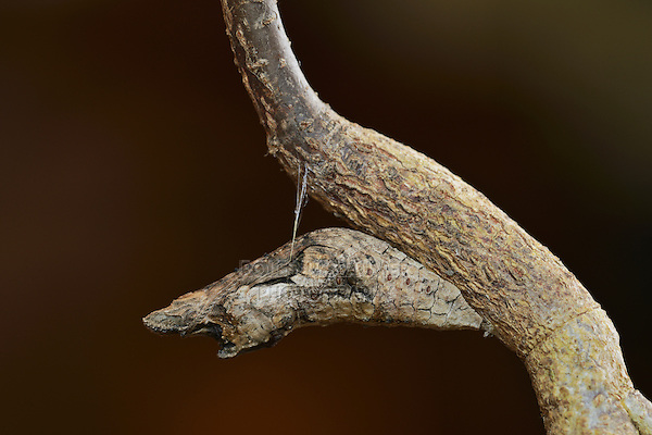 Giant Swallowtail (Papilio cresphontes), chrysalis, broken branch mimicry, Hill Country, Texas, USA