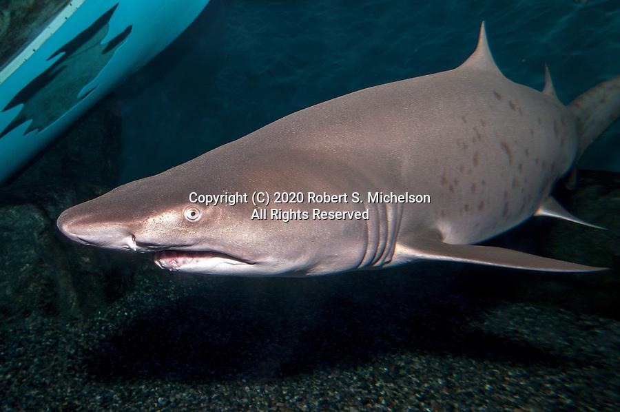 Sand tiger shark swimming 45 degrees to camera near shipwreck