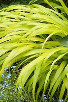 Hakenochloa macra 'All Gold', Hosta 'Halcyon', Forget-me-not Myosotis in blue flowers