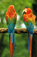 Two red and green/red and blue/ green winged macaws perched on branch. Ara chloroptera..