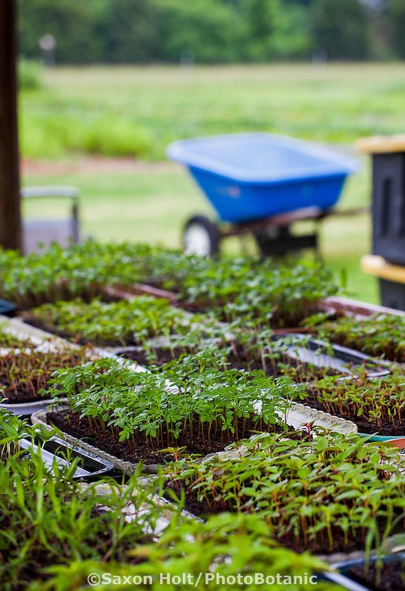 Annual flower seedling plugs,