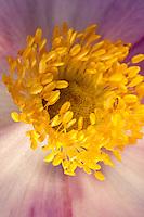 Herbst-Anemone, Herbstanemone, Staubblatt, Staubblätter mit Pollen, Blütenökologie, Anemone hupehensis, Gartenstaude, Chinese anemone, Japanese anemone, thimbleweed, windflower