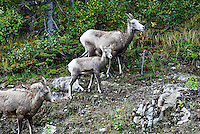 Big Horn ewes with lamb