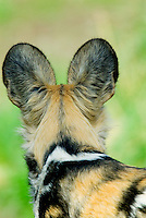 African Wild Dog (Lycaon pictus) back of head.
