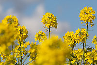 15-4-2021 Oilseed rape flowering<br /> ©Tim Scrivener Photographer 07850 303986<br />      ....Covering Agriculture In The UK....