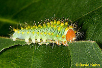 0912-0811  Oculea Silkmoth Caterpillar, 2nd Instar, Oculea Silkmoth, Antheraea oculea © David Kuhn/Dwight Kuhn Photography.