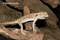 1R15-514z  Bearded Dragon eating insect prey, Popona vitticeps, Amphibolorus vitticeps