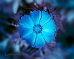 Ice Flower (Infrared)