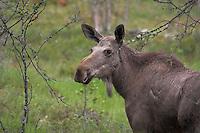 Elch, Kuh, Weibchen, Alces alces, Elk, Elan