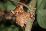 Adult Western Tarsier or Horsfield's Tarsier (Cephalopachus bancanus) active in forest understorey at night. Lowland dipterocarp rain forest, Danum Valley, Sabah, Borneo.