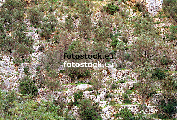 olive groves on terraces of dry masonry walls in the Barranco de Biniaraix<br /> <br /> olivos en terazas de muros de piedra seca en el Barranco de Biniaraix (cat.: Barranc de Biniaratx)<br /> <br /> Olivenbäume auf Terrassen aus Trockenmauern in der Schlucht von Biniaraix<br /> <br /> 4197 x 2844 px<br /> Original: 35 mm slide transparency