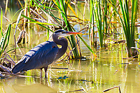 Great blue heron portrait in the water, with sawgrass background in the Everglades National Park, near Miami, Florida USA