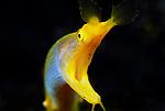 Blue Ribbon eel , Rhinomuraena quaesita, Lembeh Straits, Sulawesi Sea, Indonesia, Amazing Underwater Photography