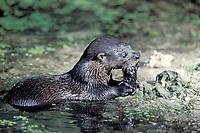 River otter, Lutra canadensis or Lontra canadensis, Florida