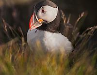Puffin at the Norwegian bird-island Runde, Møre og Romsdal, Norway.