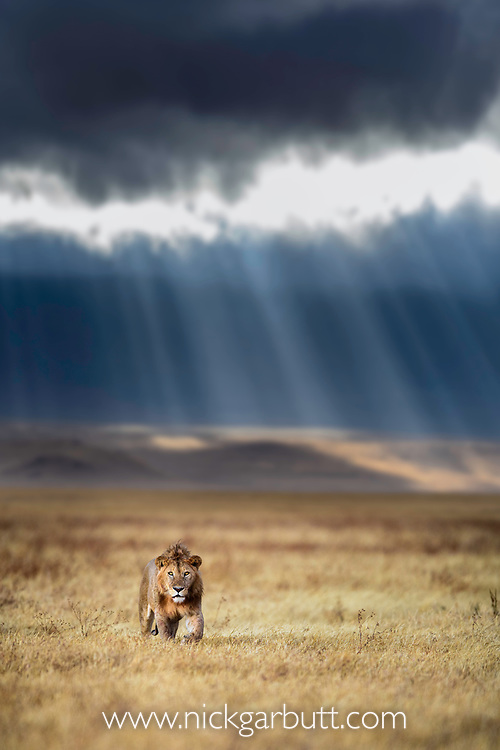 Male lion (Panthera leo) with dramtic storm clouds, thundery sky and light rays in the background. Ngorongoro Crater, Ngorongoro Conservation Area (NCA), Tanzania. (composite image)