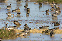 Waterfowl--mostly Northern Pintails (Anas acuta) feeding and resting in shallow pond.  Western U.S., Oct.
