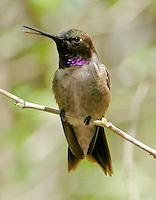 Adult male black-chinned hummingbird on twig