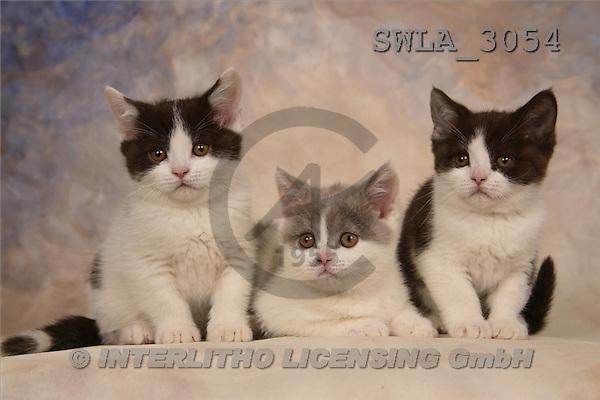 Carl, ANIMALS, photos, 3 kitten(SWLA3054,#A#) Katzen, gatos