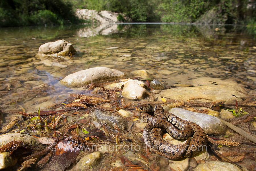 Sizillianische Ringelnatter, Süditalienische Ringelnatter, Natrix natrix sicula, Natrix natrix ssp. sicula, Sicilian Grass Snake. Sizilien, Italien, Sicily, Italy