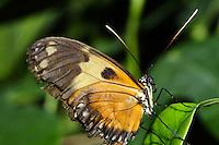 Parthenos sylvia, Clipper butterfly